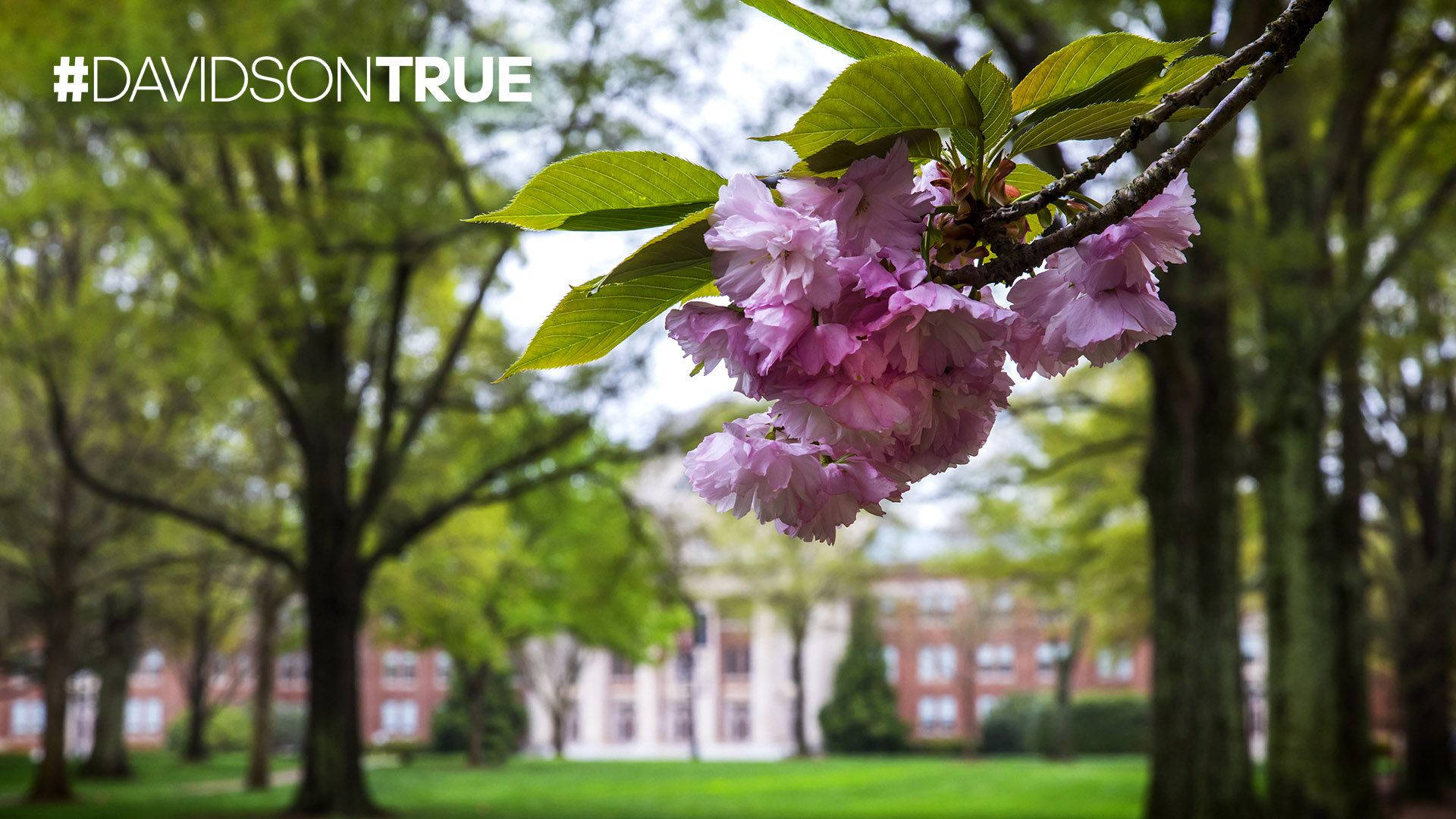 Flowering Tree with #DAVIDSONTRUE
